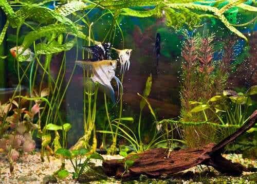Fisk som svømmer i et akvarium