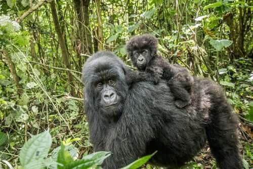 Primaten gorilla: Egenskaper, atferd og habitat
