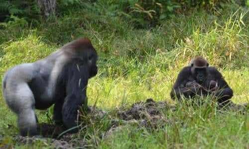 En gorillafamilie