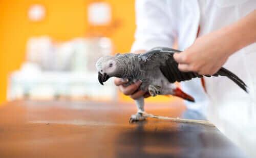 Lær alt om behandling av en skadet fugl