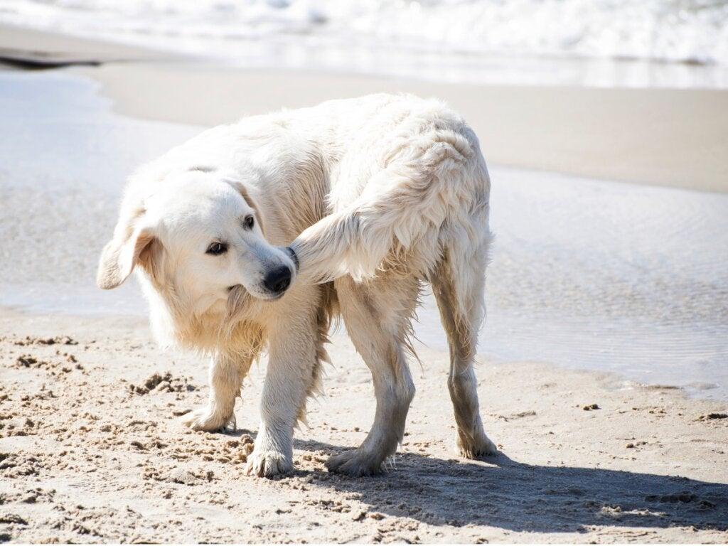 Hvorfor biter hunder seg i halen?