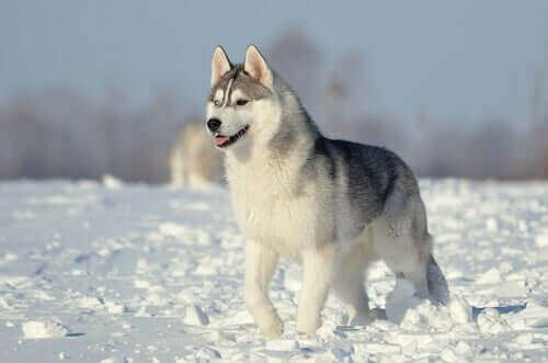 Hunder i FCI-gruppe 5: Raseklassefisering