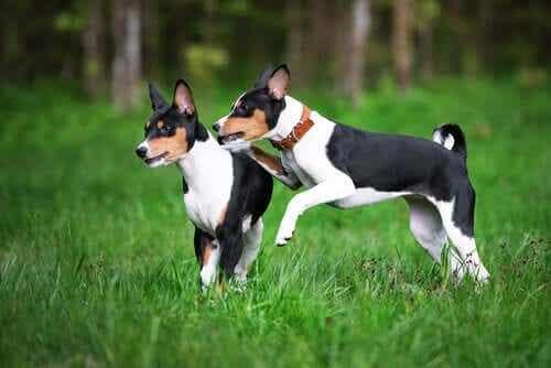 To basenjier som er hunder i FCI gruppe 5