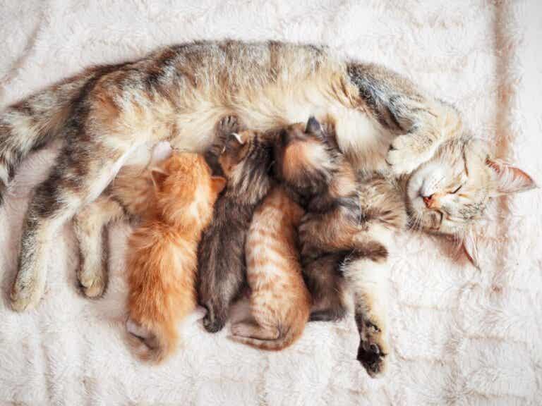 Brystsvulster hos katter: Årsaker, symptomer og behandling