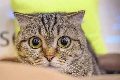 Høyt blodtrykk hos katter