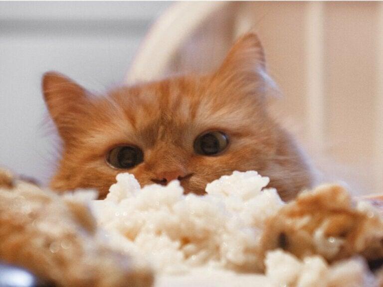 Kan katter spise ris?