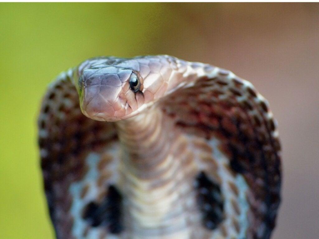 Brilleslange: habitat og karakteristikker