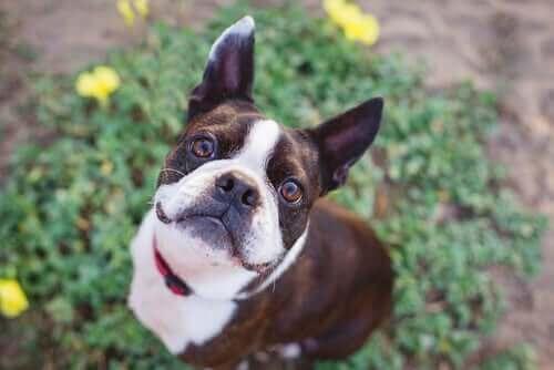 Hunderaser som er kompatible med labradorer
