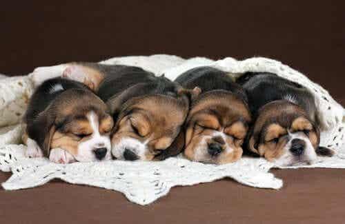 Beagle valper som sover