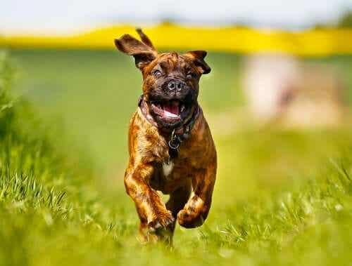 En boxer som løper