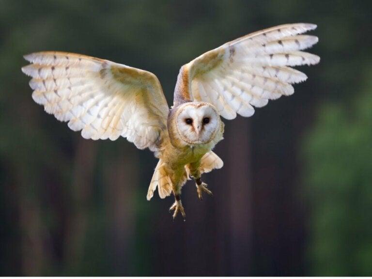 Tårnugle: Habitat og egenskaper