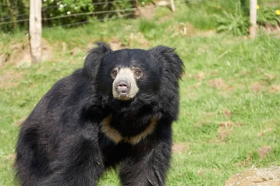 leppebjørn er en av de vanligste bjørneartene
