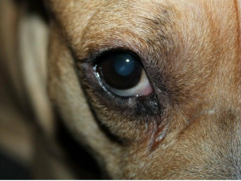 Hunden min har et rødt hovent øye: 10 årsaker og behandlinger