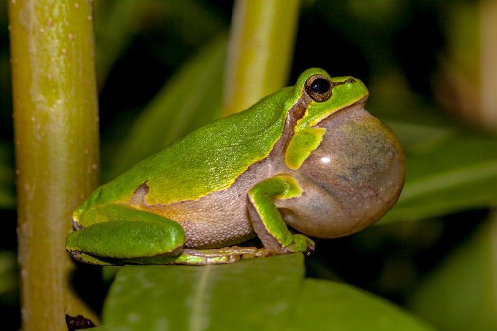 Hvorfor synger frosker?