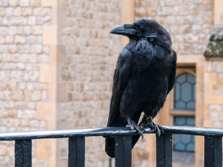 10 interessante fakta om kråker