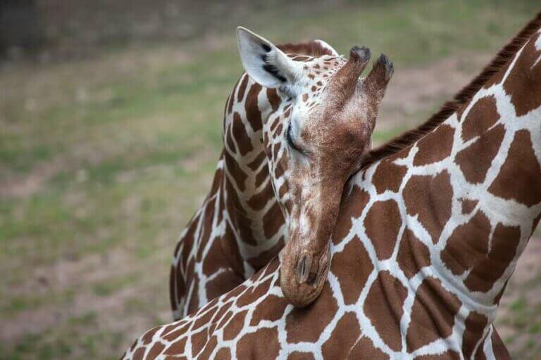Sjiraffen: egenskaper, oppførsel og habitat
