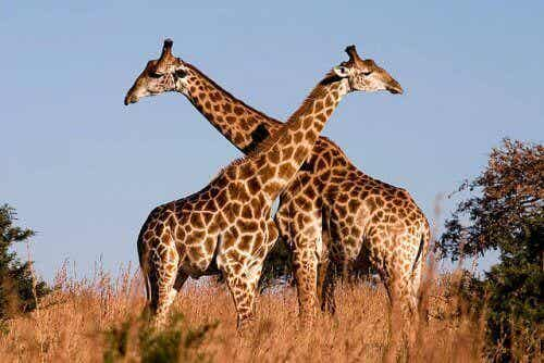 To sjiraffer på en savanne