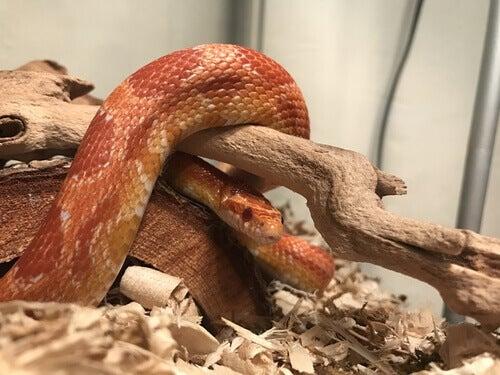 slange i terrarium