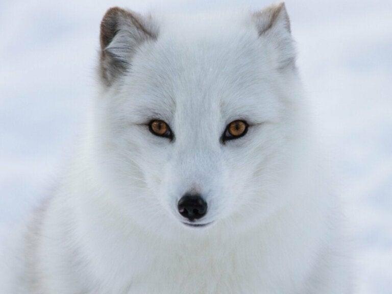5 utrydningstruede dyr på Nordpolen