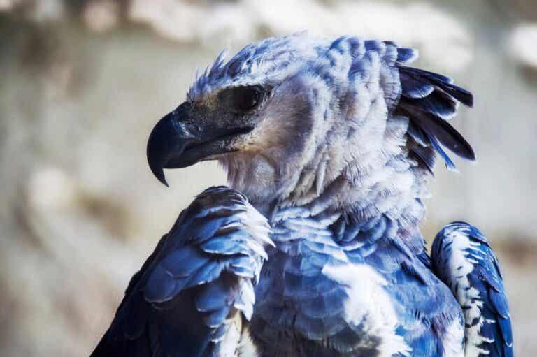 Harpyørn er truet på grunn av avskoging i Amazonas