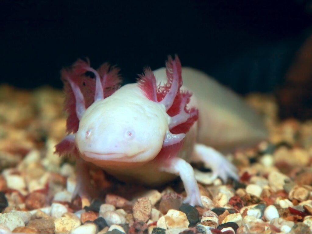 10 fascinerende fakta om axolotl