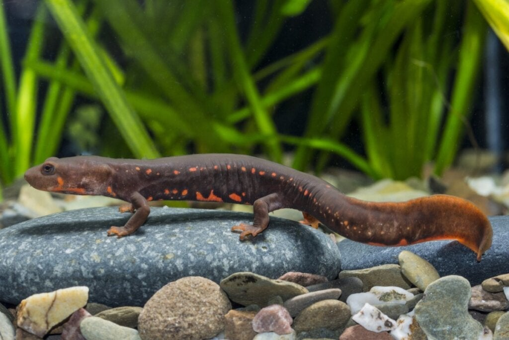 10 kuriositeter om vannsalamandere