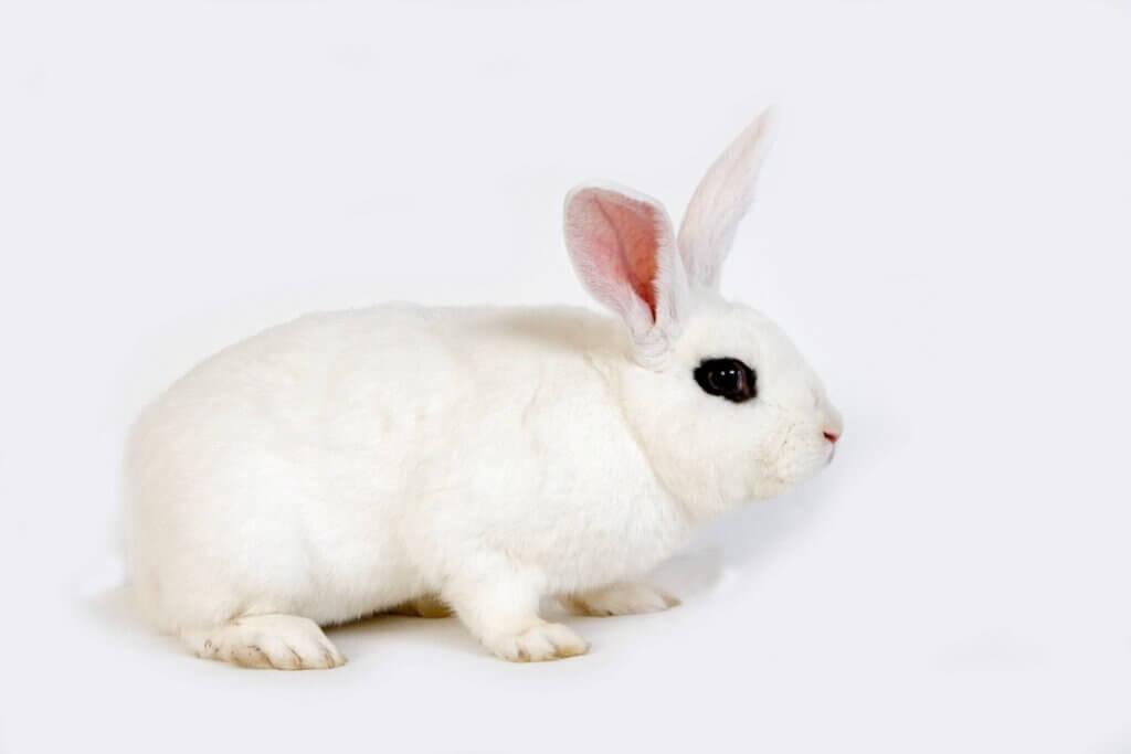 Kaninrasen hotot: Kjennetegn og omsorg