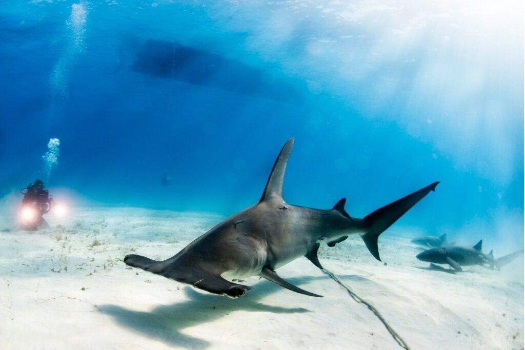 Stor hammerhai: Habitat og karakteristikker