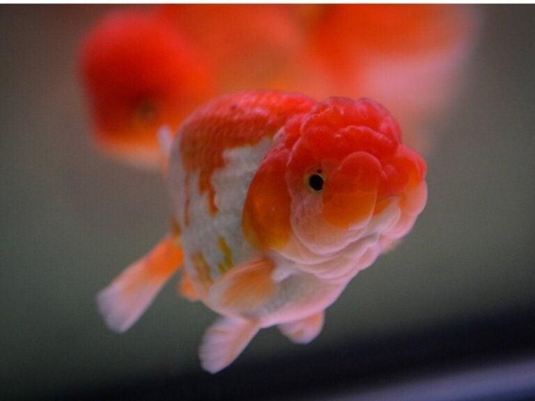 Gullfisken løvehode: habitat, egenskaper og omsorg