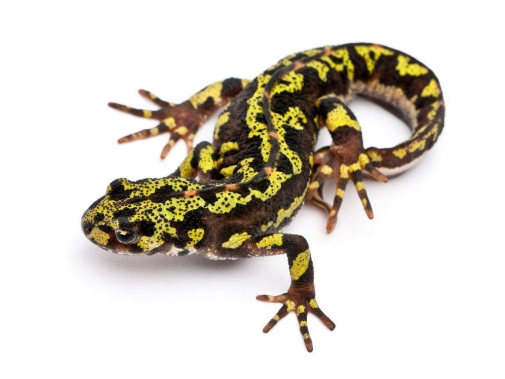 Marmorsalamander: habitat og karakteristikker