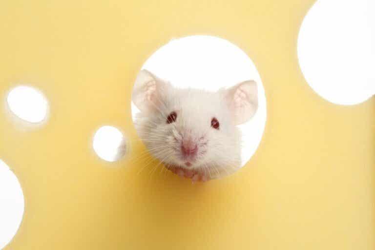 Liker mus ost?