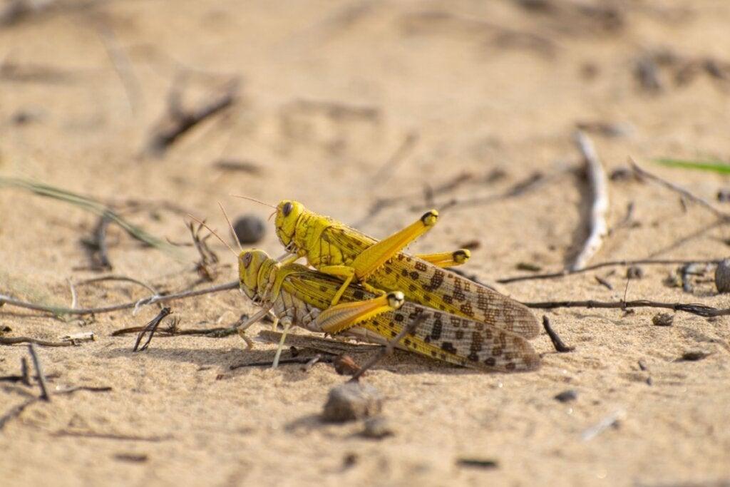 10 kuriositeter om vandregresshopper