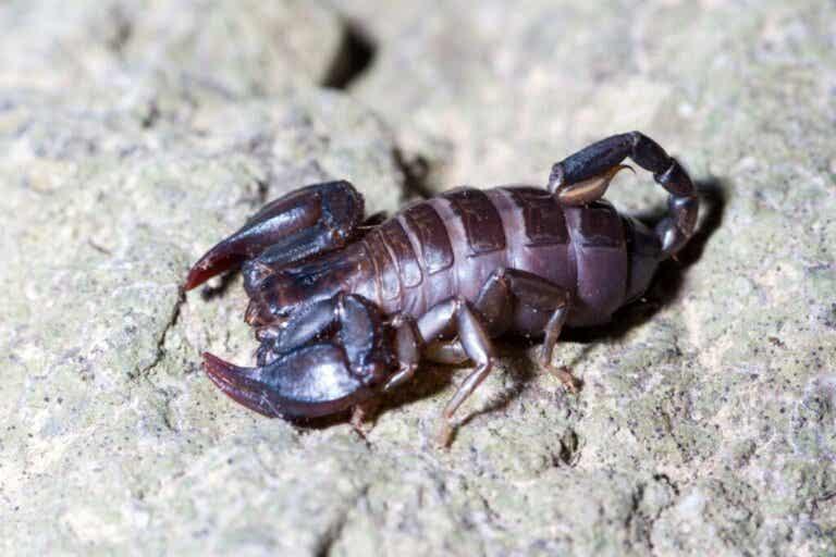 Hvordan og hva spiser skorpioner?