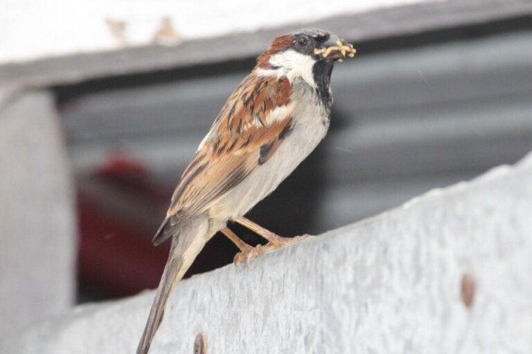 Kan fugler spise ris?