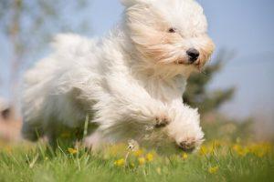 Leeftijd van een hond berekenen poedel