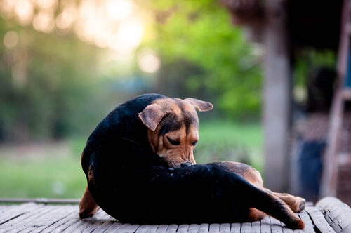 Houd je hond gezond: atopische dermatitis
