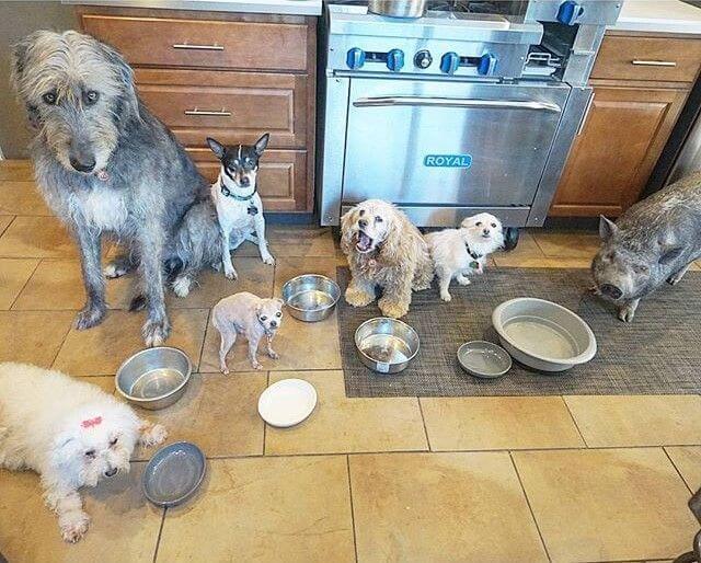 Adoptie van 10 honden en een varken