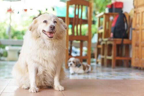 Oudere honden krijgen vaak artrose.