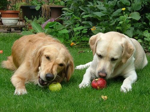 Twee honden in de tuin eten een appel