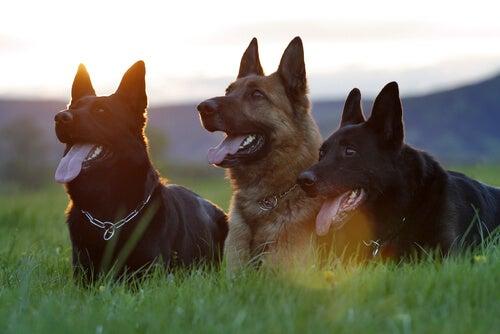 Drie honden op een rij
