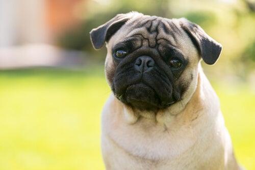 Hond met uitpuilende ogen