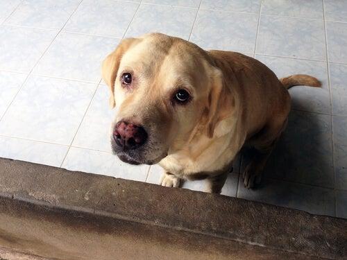 Schuldbewuste hond