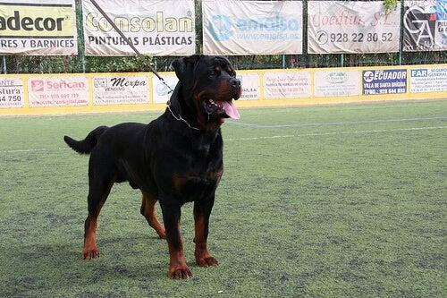 Een alfa hond is niet uit zichzelf agressief