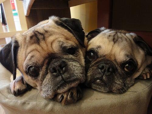 Honden met platte neuzen zijn geboren snurkers