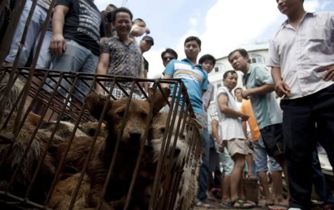 Honden voor het Chinese hondenvleesfestival