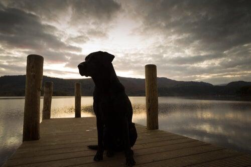Een Labrador kijkt naar de zonsondergang