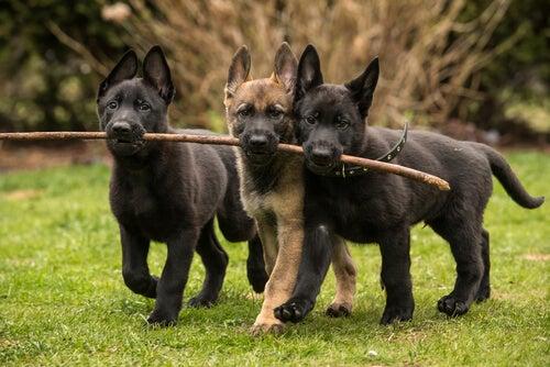 Liefdevolle hondenrassen: 8 uitblinkers