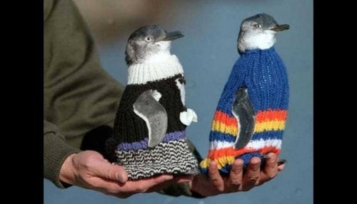 Man breidt truien voor pinguïns van Philip Island