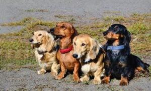 Vier hondjes op een rij