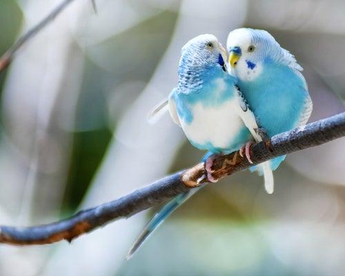 Twee parkieten knuffelen op een tak